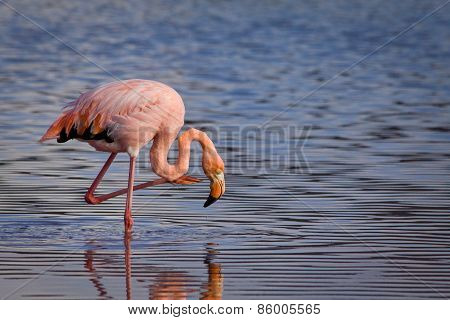 Closeup portrait of pink flamingo and its reflection in the Galapagos Islands