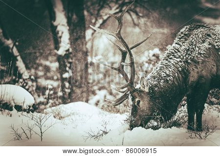 Lonely Elk In Winter