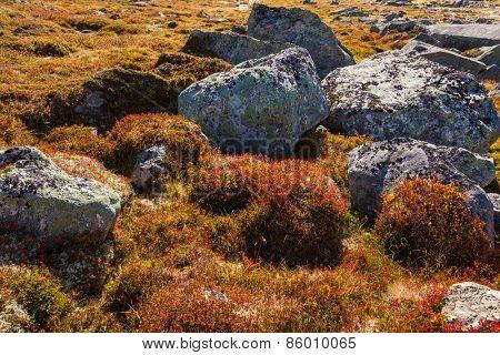 autumn highland plants background in Norway Gamle Strynefjellsvegen