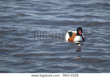 Female Shelduck (Tadorna tadorna)