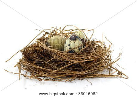 Three Spotted Quail