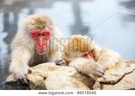 Snow Monkeys Japanese Macaques bathe in onsen hot springs of Nagano, Japan