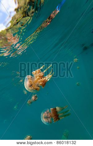Underwater photo of endemic stingless jellyfish in lake at Palau. Snorkeling in Jellyfish Lake is a popular activity for tourists to Palau.