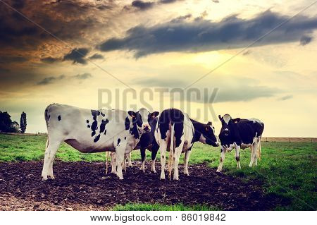 Herd Of Cows At Sunset