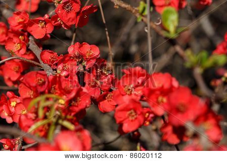 Bee Pollinating Red Flowers Japanese Quince