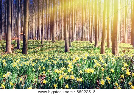 Spring Forest Covered By Yellow Daffodils