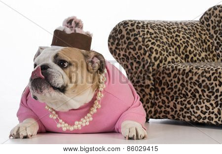 female dog - english bulldog wearing female clothes on white background