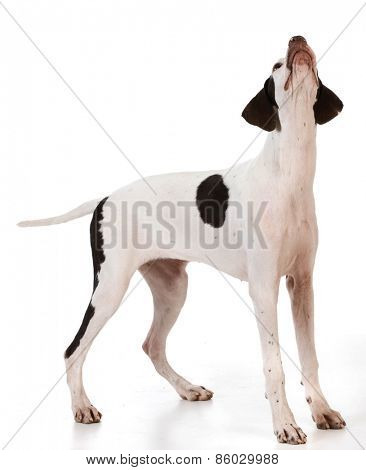 pointer puppy standing looking up on white background