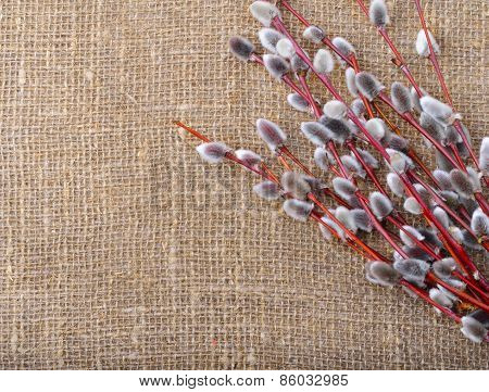 Spring Of Willow Branches With Fluffy Catkins
