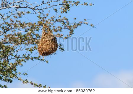 Nest Weaver Bird Hanging On Branch
