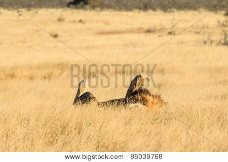 Lion Rolling And Resting