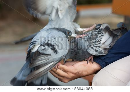 The Person Feeds Pigeons On A Hand