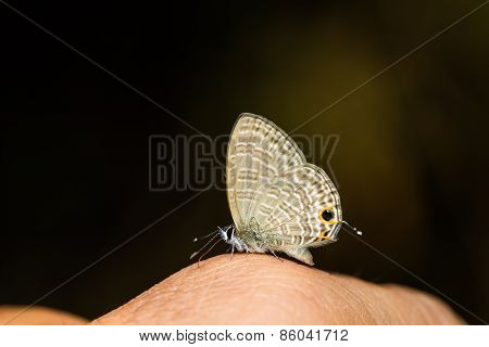 Transparent Six-line Blue Butterfly
