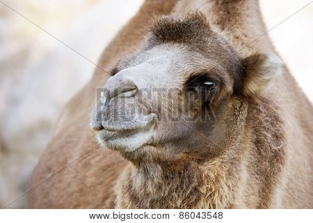 Cute Bactrian Camel