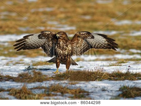 Common Buzzard With Spread Wings