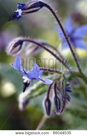 Verbena/flowers