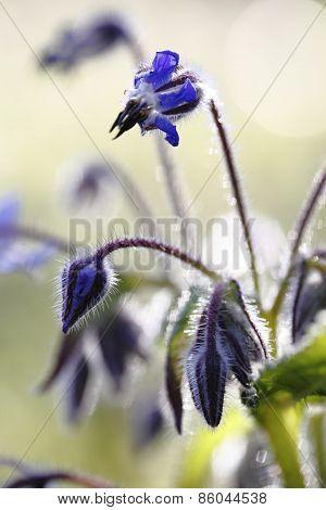 Verbona Officinalis/flowers/spring