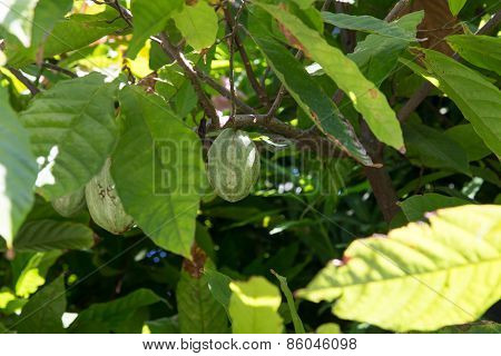 Cocoa Fruit In Plant Closeup