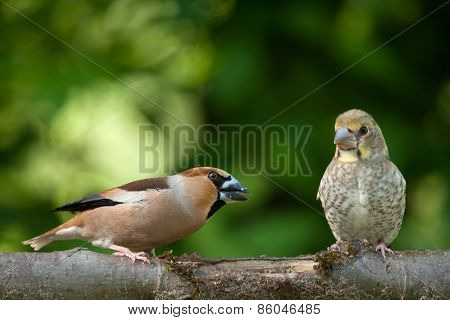 Female Hawfinch with chick