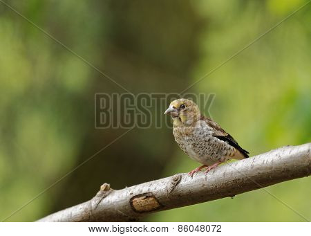 Young Hawfinch Sitting on the branch