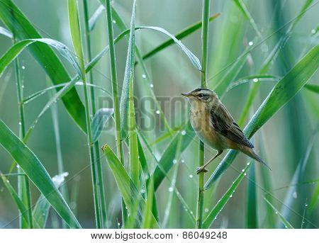 Aquatic Warbler(acrocephalus Paludicola)