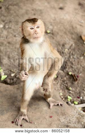Macaque Near Chiang Mai, Thailand