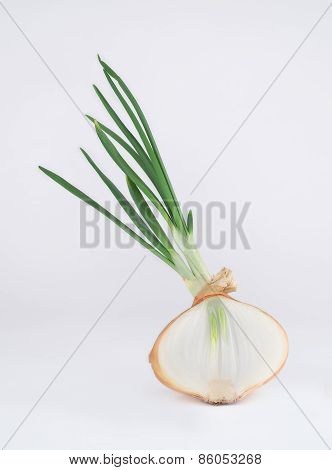 Single, large, sprouted onion bulb sliced in Half.