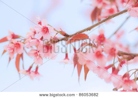 Close Up Branch Of Cheery Blossom.