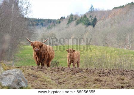 Heilan Coo and Calf