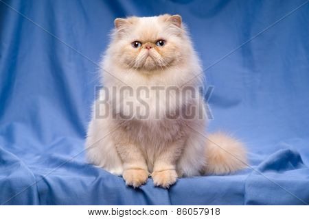 Cute Persian Cream Colorpoint Cat Sitting On A Blue Background