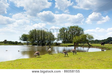 New Forest geese by a lake on a sunny summer day in Hampshire England UK on a summer day