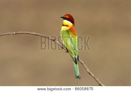 Chestnut Headed Bee Eater Merops Leschenaulti