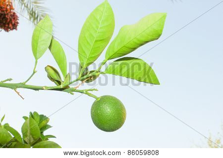 Green Orange Fruit