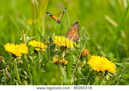 Meadow Of Yellow Dandelions And Butterflies