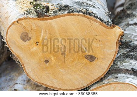 The Texture Of Cut Birch Wood.