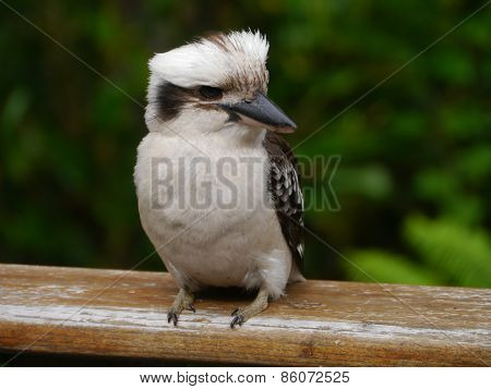A young Laughing Kookaburra