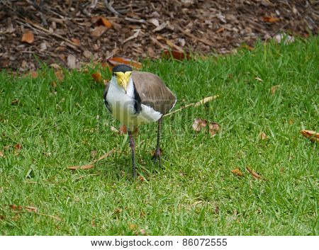 Masked Plover or Spur-winged Plover