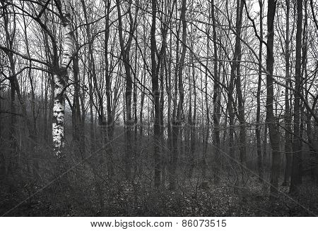 Gloomy forest in grayscale colours