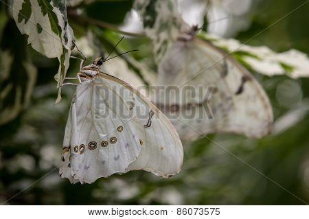 2 White Morpho Butterflies