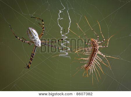 Araña Vs ciempiés