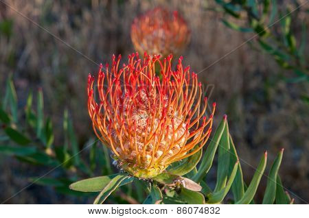 Red  Pincushion Flower
