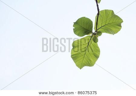 Green, Leaf, Leaves, Background, Sky, White, Branch, Tree, Nature, Fresh, Beauty, Spring, Summer, Br