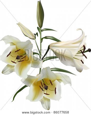 illustration with light lily flowers isolated on white background
