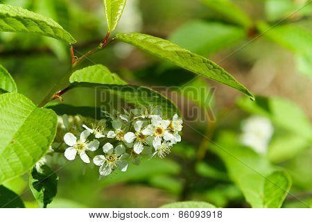 A Branch Of Bird-cherry Blossom