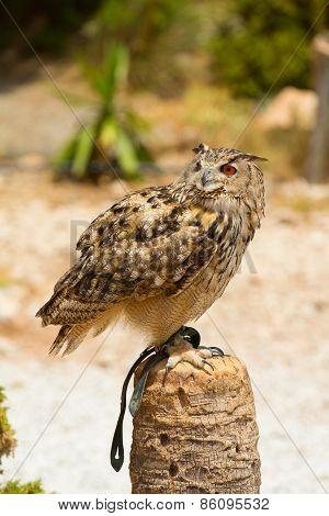 Eagle Owl - Bubo Bubo