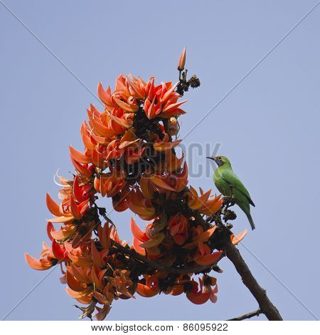 Golden-fronted Leafbird In Flame Of The Forest Flowers