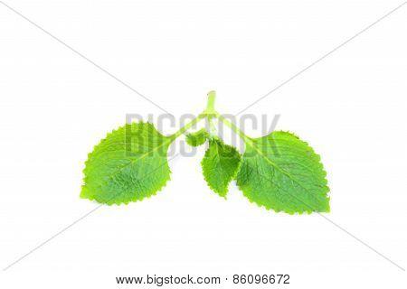 Green Herbal Siam Weed