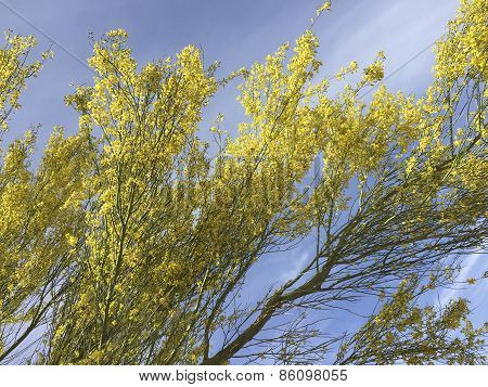 Blossoms of Palo Verde
