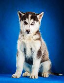 picture of puppy eyes  - siberian husky puppy  with blue eyes sitting on blue background - JPG
