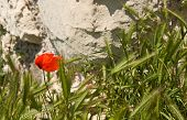 image of crimea  - The red poppy flowers in Chersonesos in Crimea - JPG